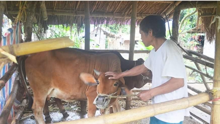 Ông Trương Văn Thiết, dân tộc Thổ ở xóm Đại Thành, xã Văn Lợi đang chăm sóc bò của gia đình.