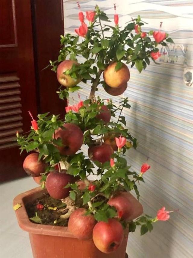 Táo bonsai được dính keo như thật.