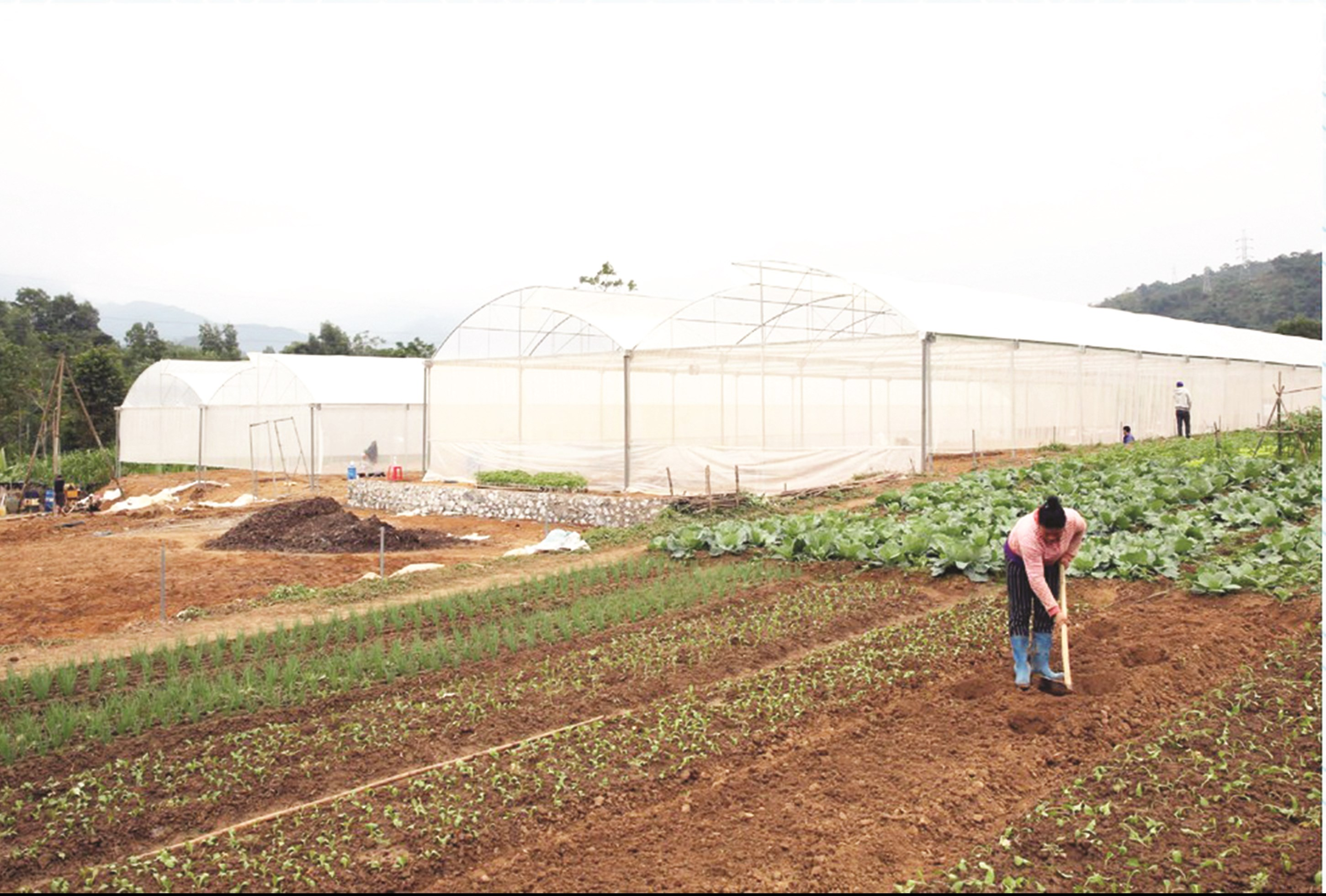 Mô hình trồng rau sạch hàng hóa cho thu nhập cao ở huyện miền núi Tương Dương.