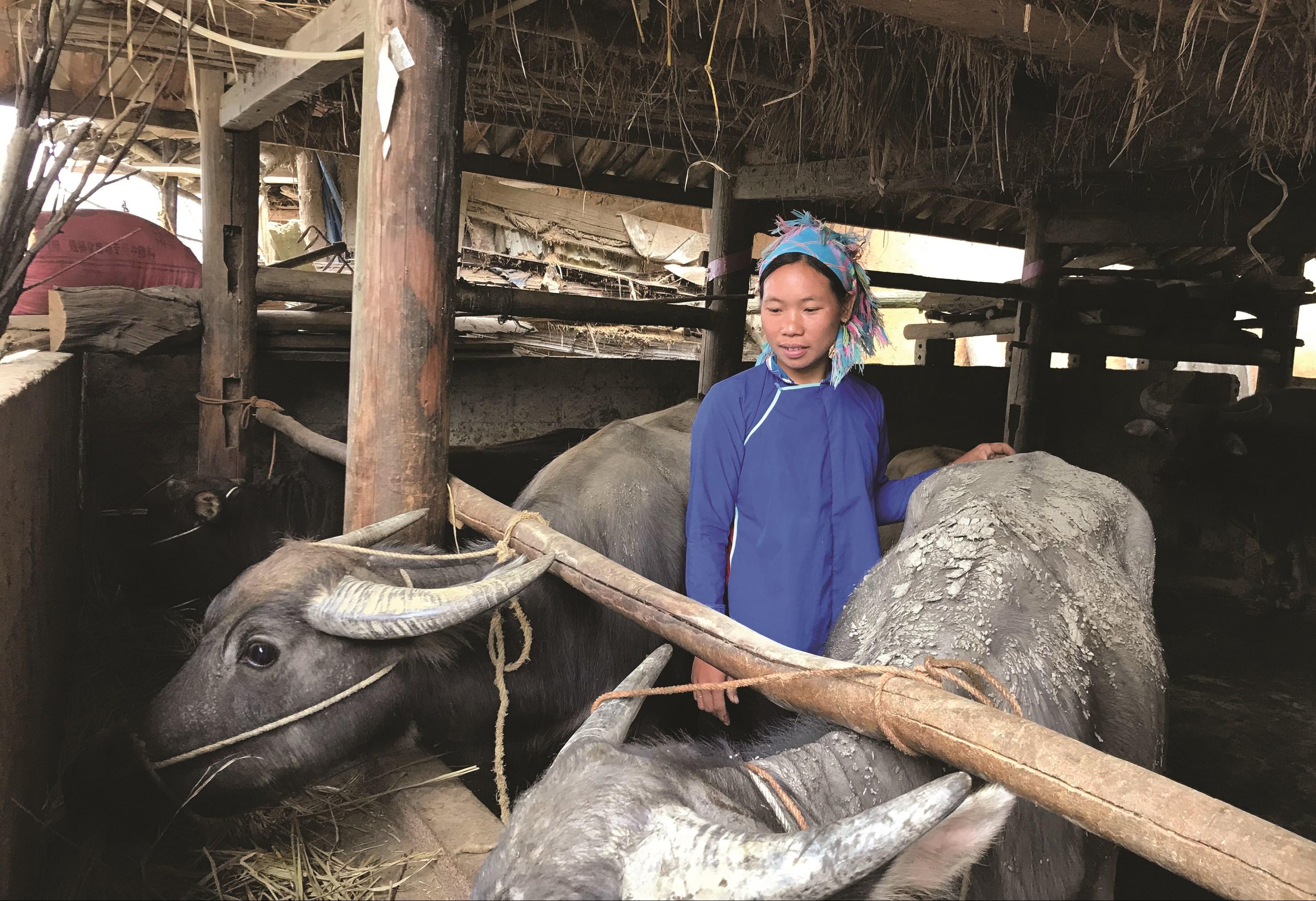 Hàng trăm hộ nông dân thoát nghèo vươn lên làm giàu từ nguồn hỗ trợ chăn nuôi đại gia súc theo Nghị quyết 22.