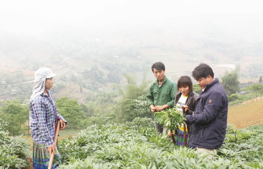 Cây đương quy là một trong những cây trồng chủ lực góp phần nâng cao thu nhập cho bà con nông dân Si Ma Cai.