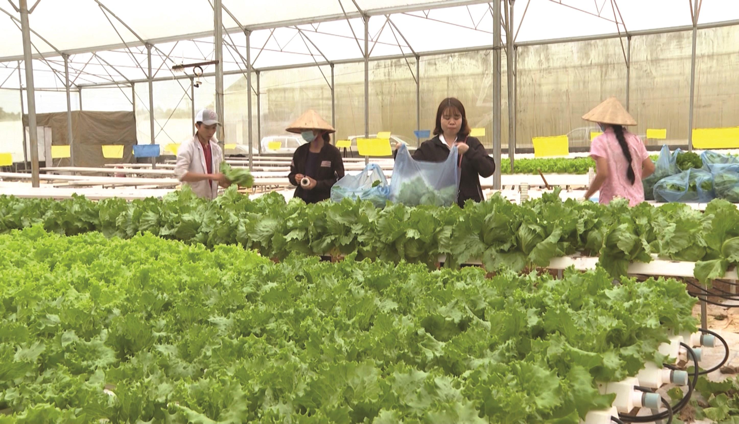 Mô hình trồng rau an toàn tại Khu nông nghiệp ứng dụng CNC Măng Đen, huyện Kon Plông, Kon Tum