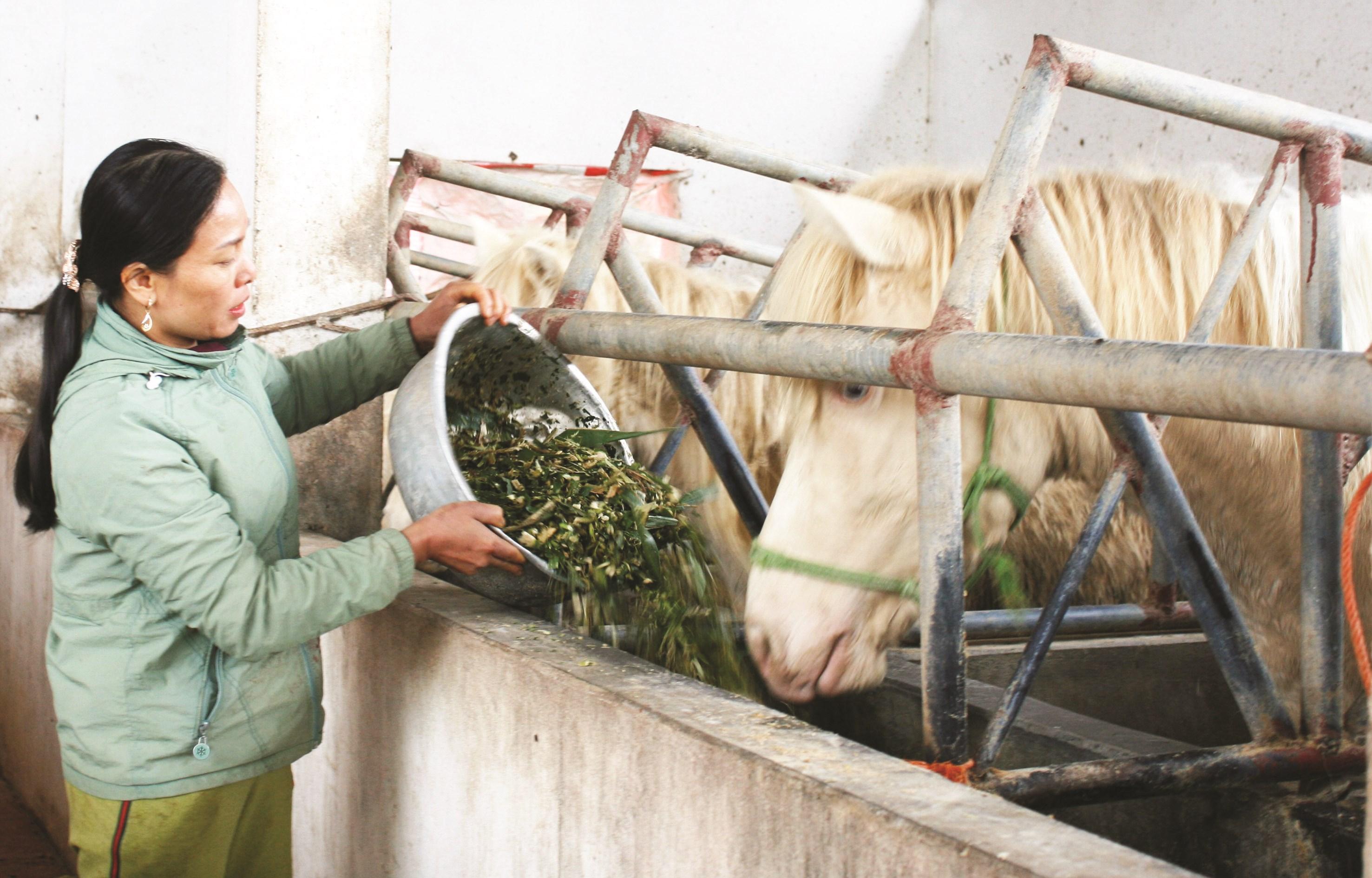 Bà Nguyễn Thị Nguyên chăm sóc đàn ngựa bạch.