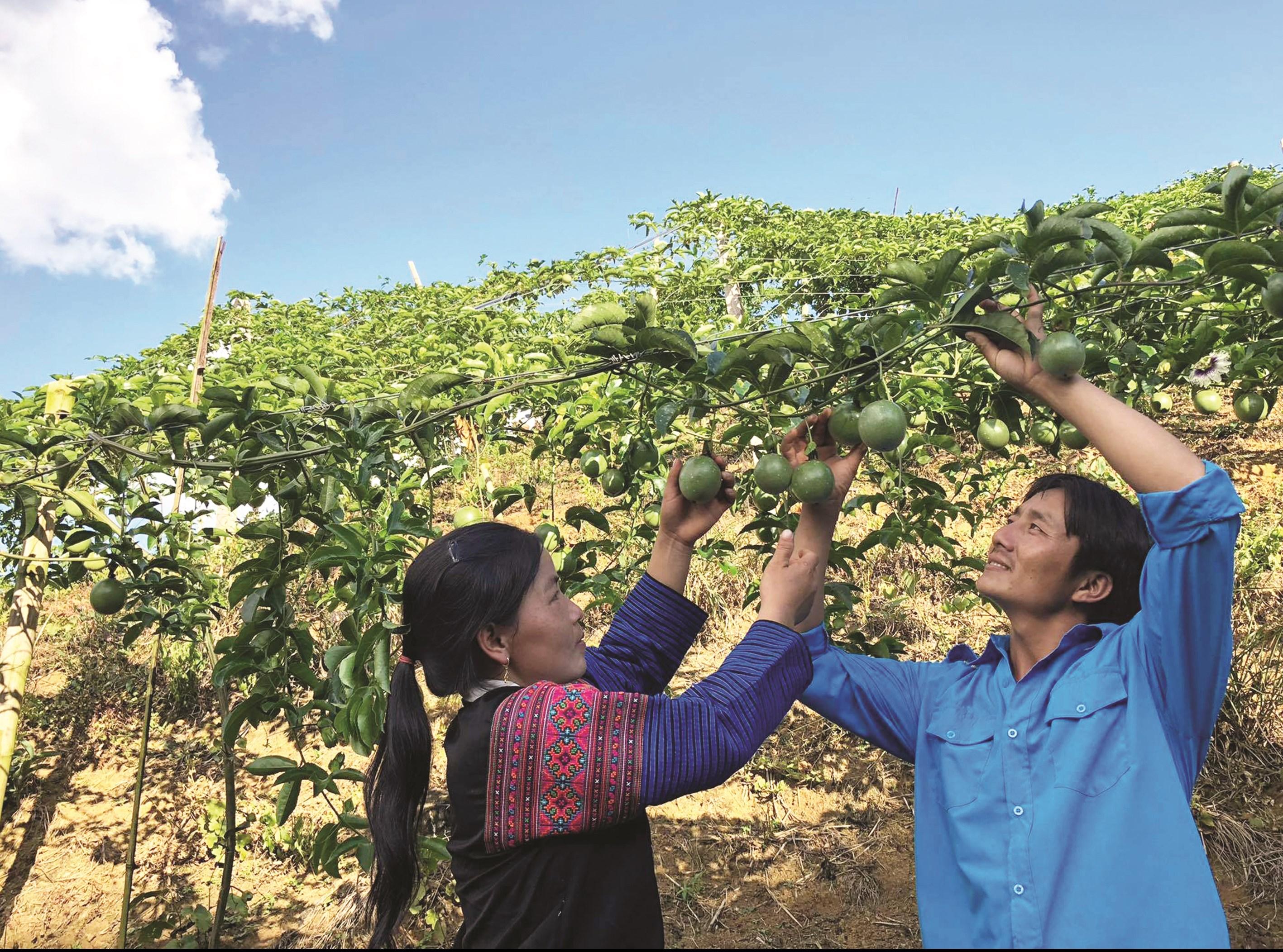 Đôi vợ chồng Việt - Lào ở Lao Khô phát triển kinh tế gia đình từ trồng chanh leo