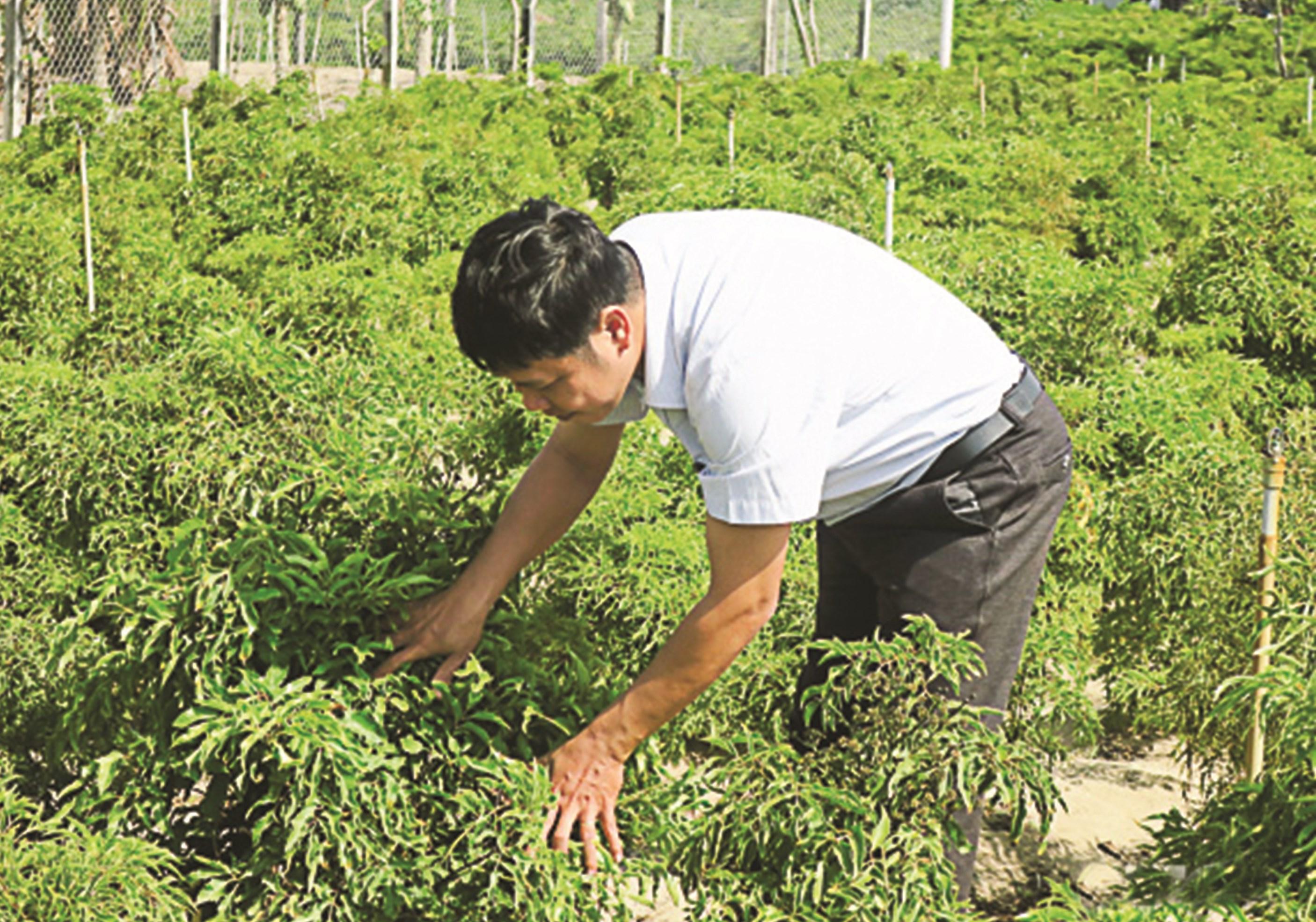 Cán bộ Viện Nghiên cứu Bông và Phát triển nông nghiệp Nha Hố (Ninh Thuận) kiểm tra vườn đinh lăng trồng thử nghiệm
