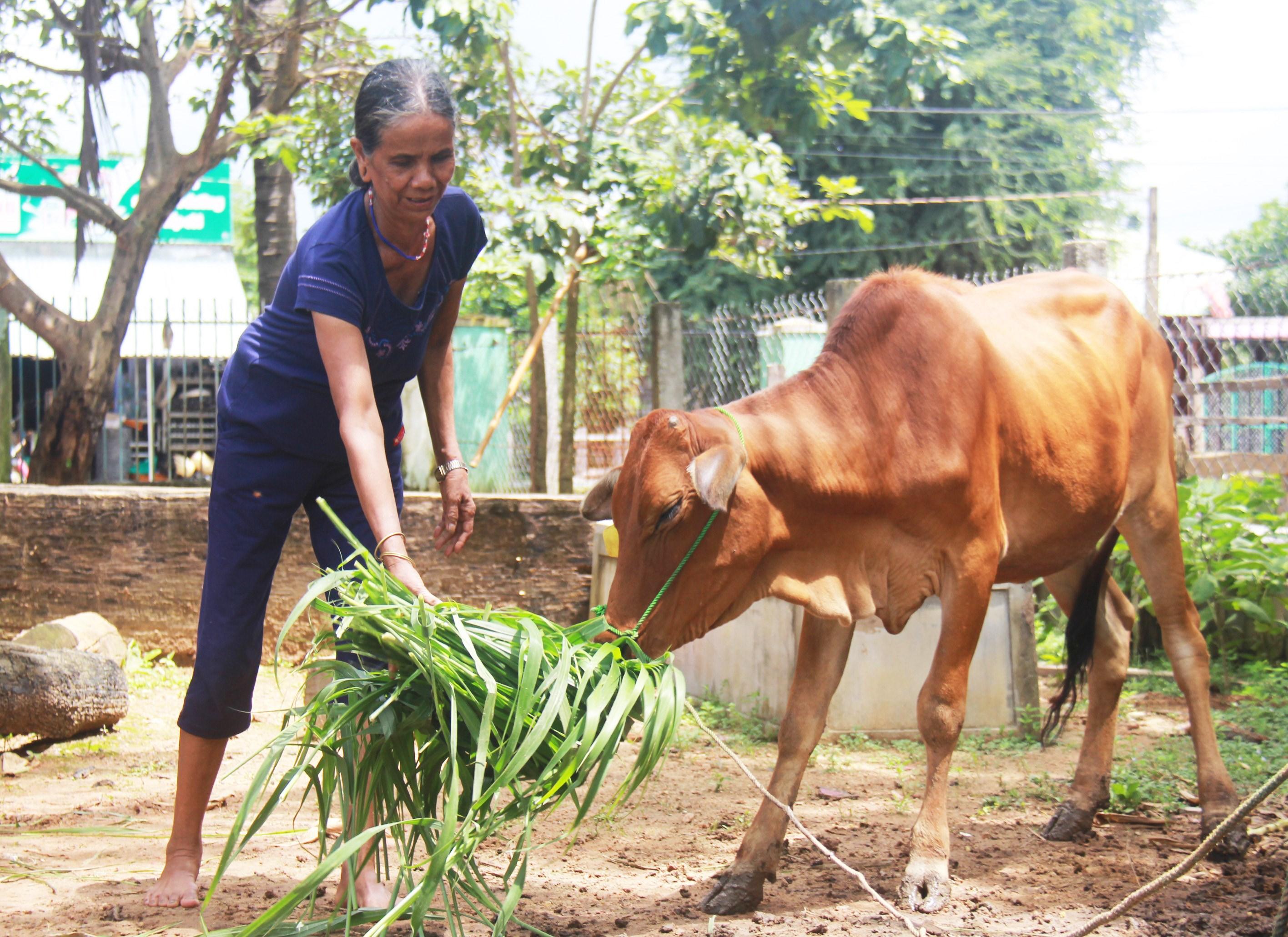 Già làng Siu Phyin phát triển chăn nuôi bò