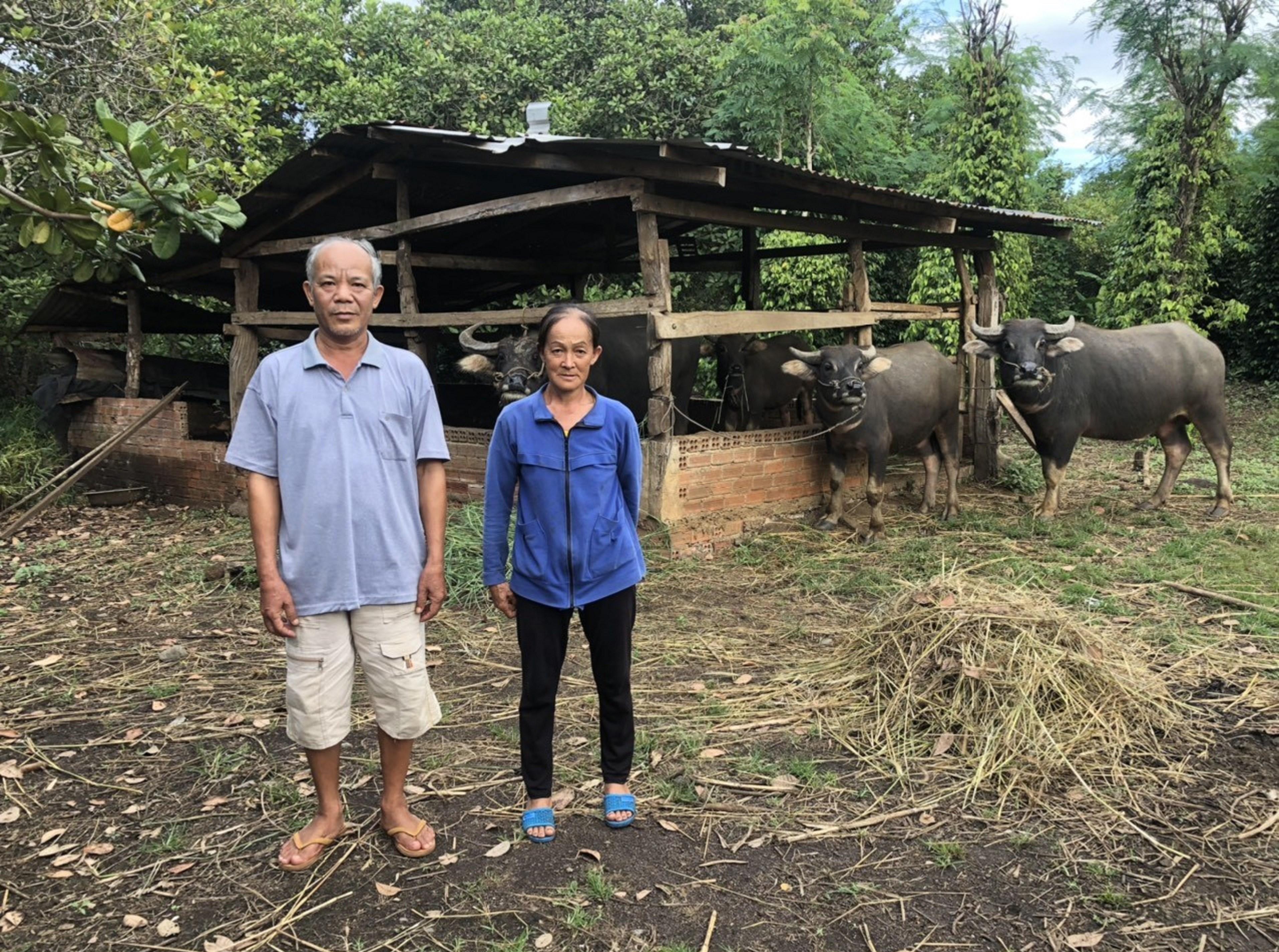 Vợ chồng ông Liêu Văn Kỳ, ấp 5, xã Thanh Hòa, huyện Bù Đốp khoe đàn trâu sinh sản của gia đình.