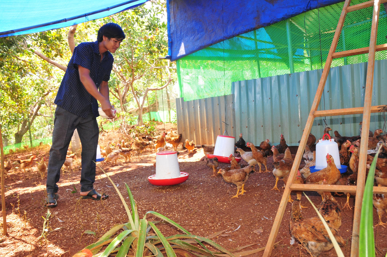 Anh Điểu Té chăm sóc đàn gà của gia đình do địa phương hỗ trợ con giống