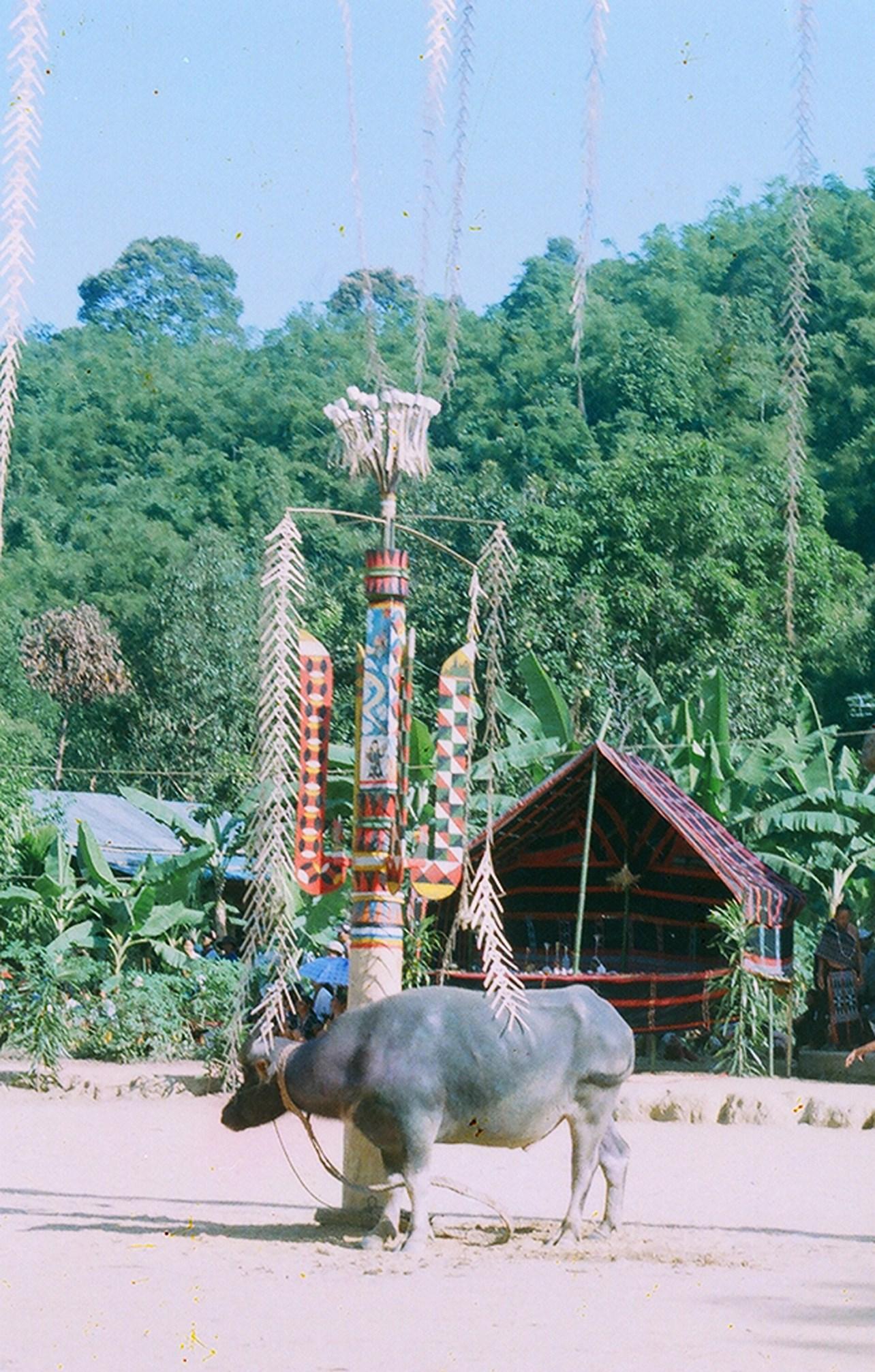 Với người Cơ Tu, trâu còn là con vật mang ý nghĩa tâm linh khi dùng để hiến sinh trong các lễ hội truyền thống