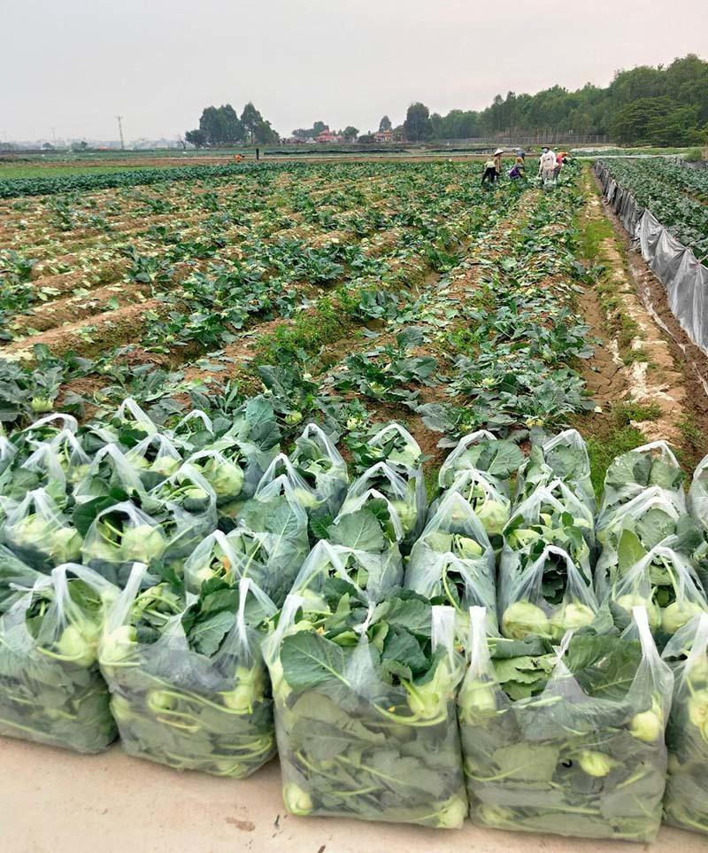 Tại tỉnh Hải Dương còn khoảng gần 4.000 tấn rau xanh các loại đến kỳ thu hoạch nhưng khó tiêu thụ do ảnh hưởng bởi dịch Covid-19