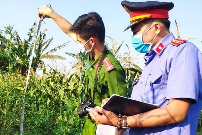 Đối tượng Hưng khai trồng hàng trăm cây cần sa là để ... nuôi gia súc