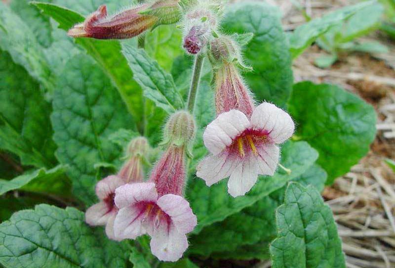 Cây địa hoàng được xem là dược liệu quý, được trồng nhiều ở các tỉnh phía Bắc nước ta