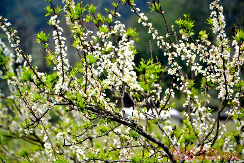 Sắc trắng tinh khôi của hoa mận Tam Hoa hòa với màu lộc xanh.