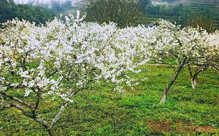 Sắc trắng tinh khôi hoa mận Tam Hoa