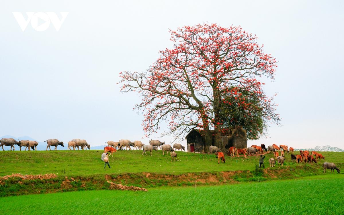 Tháng ba, hoa gạo khoe sắc thắm bên bờ sông Thương 1
