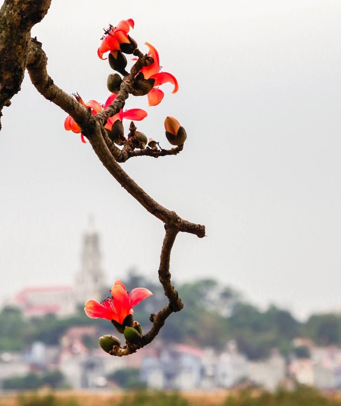 Tháng ba, hoa gạo khoe sắc thắm bên bờ sông Thương 2