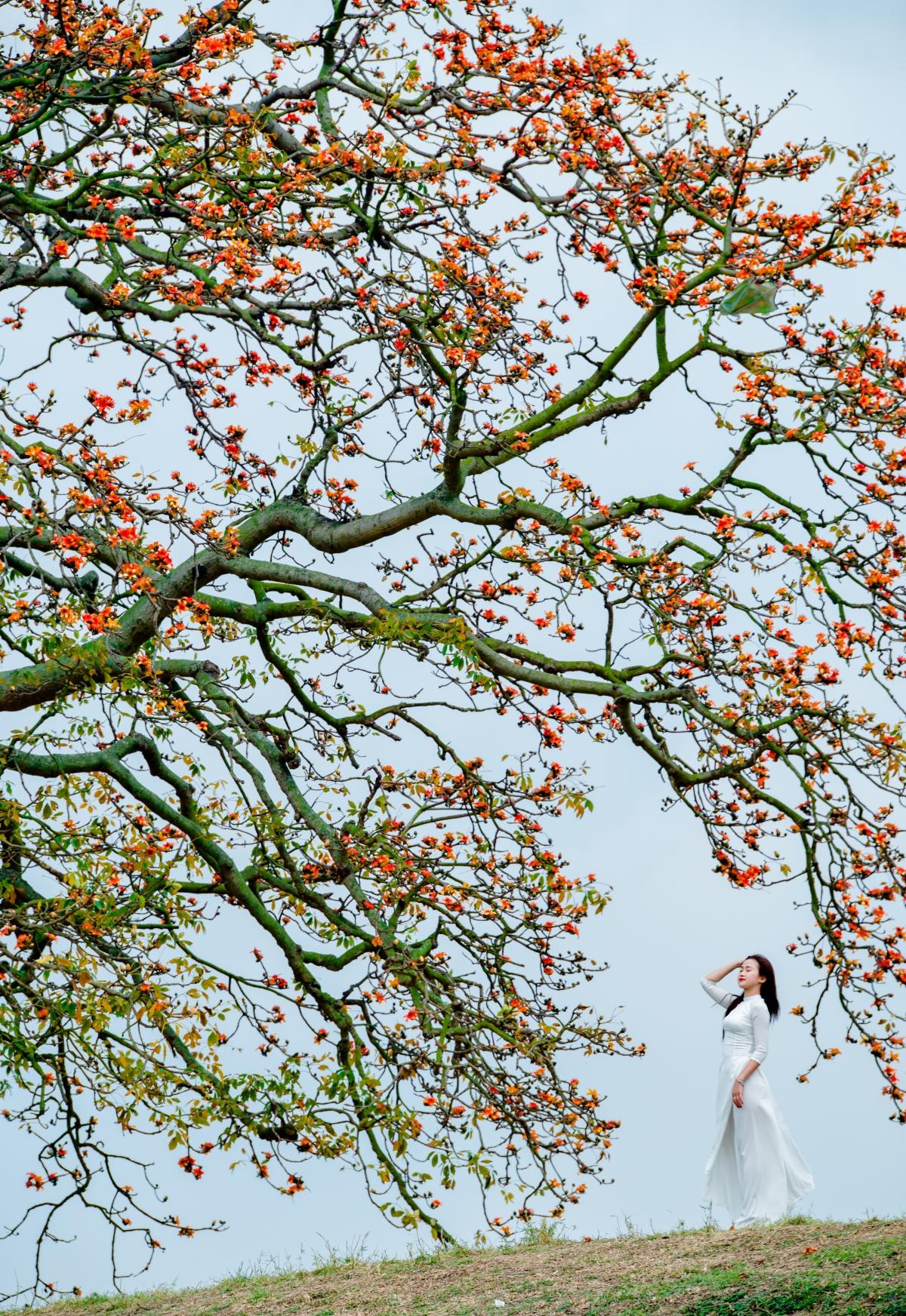 Tháng ba, hoa gạo khoe sắc thắm bên bờ sông Thương 7