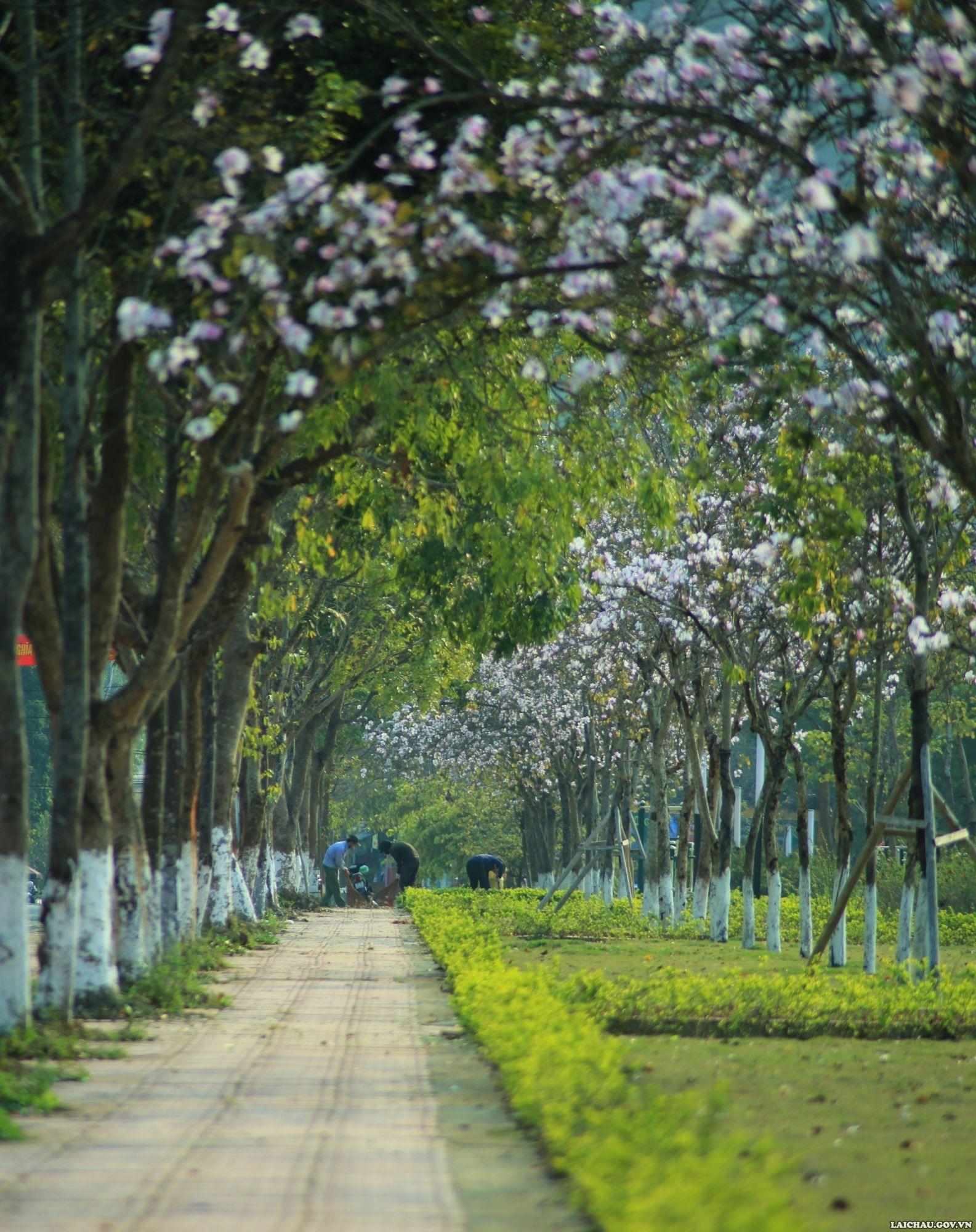 Ở Lai Châu, hoa ban được trồng tại nhiều tuyến phố, công viên, nơi công cộng