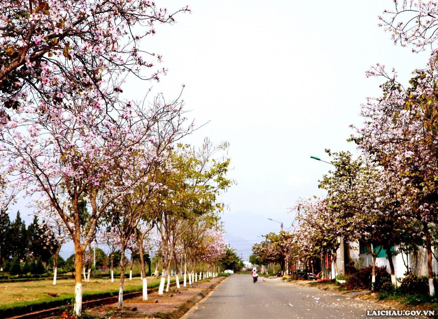 Con đường khu Trụ sở cơ quan thành phố Lai Châu tràn ngập sắc hoa ban