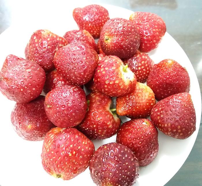 Những quả dâu tây ngọt lịm được thu hái tại vườn của chị Giàng Thị Sao.