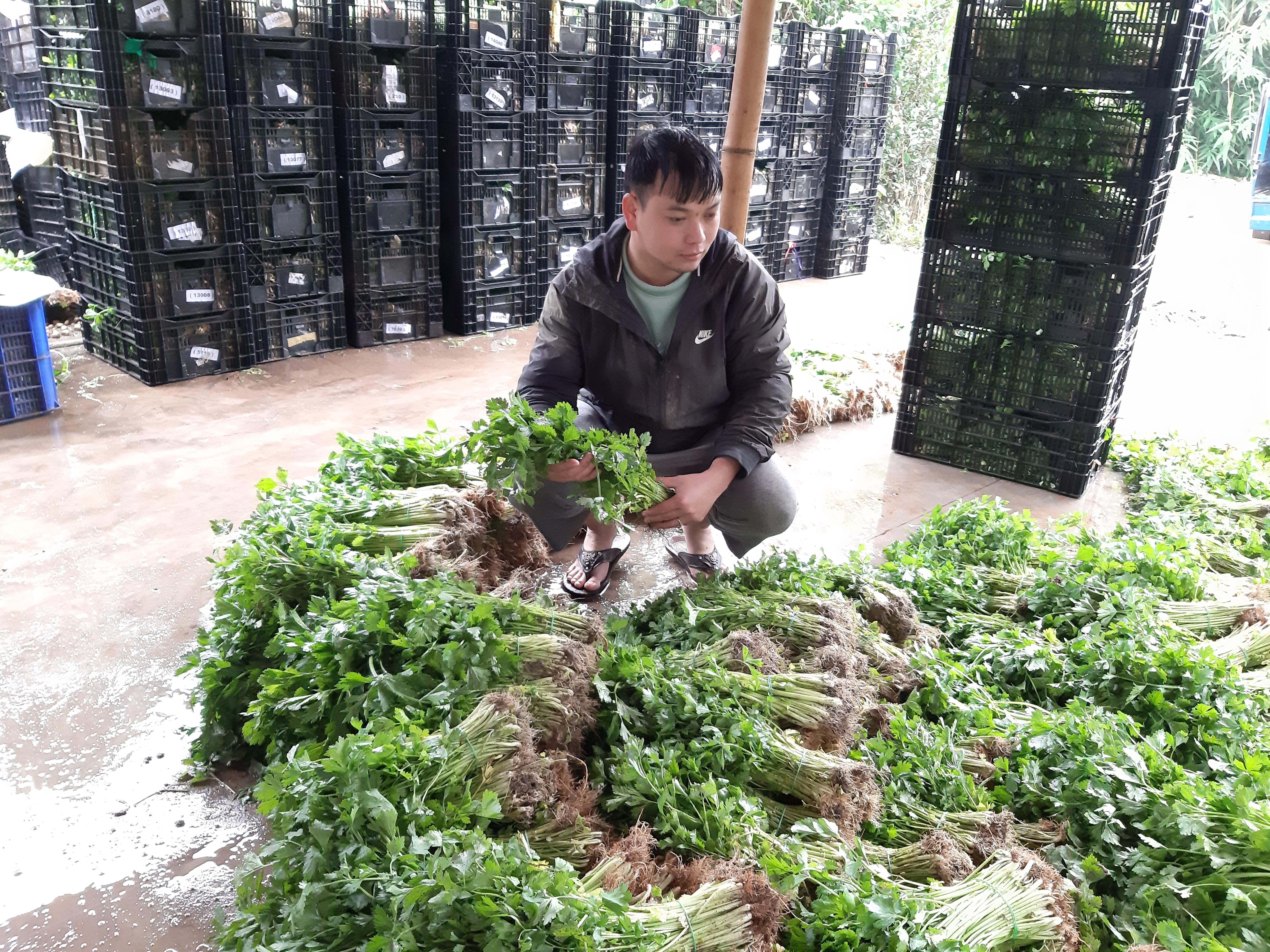 Lưu Lập Đức kiểm tra sản phẩm rau trước khi đóng thùng xuất xưởng