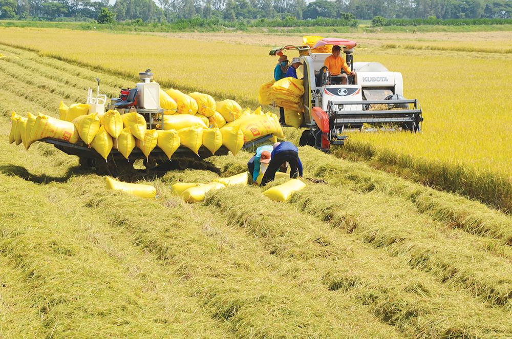 Lúa gạo là một trong những nguồn lương thực quan trọng của Việt Nam. Ảnh minh họa