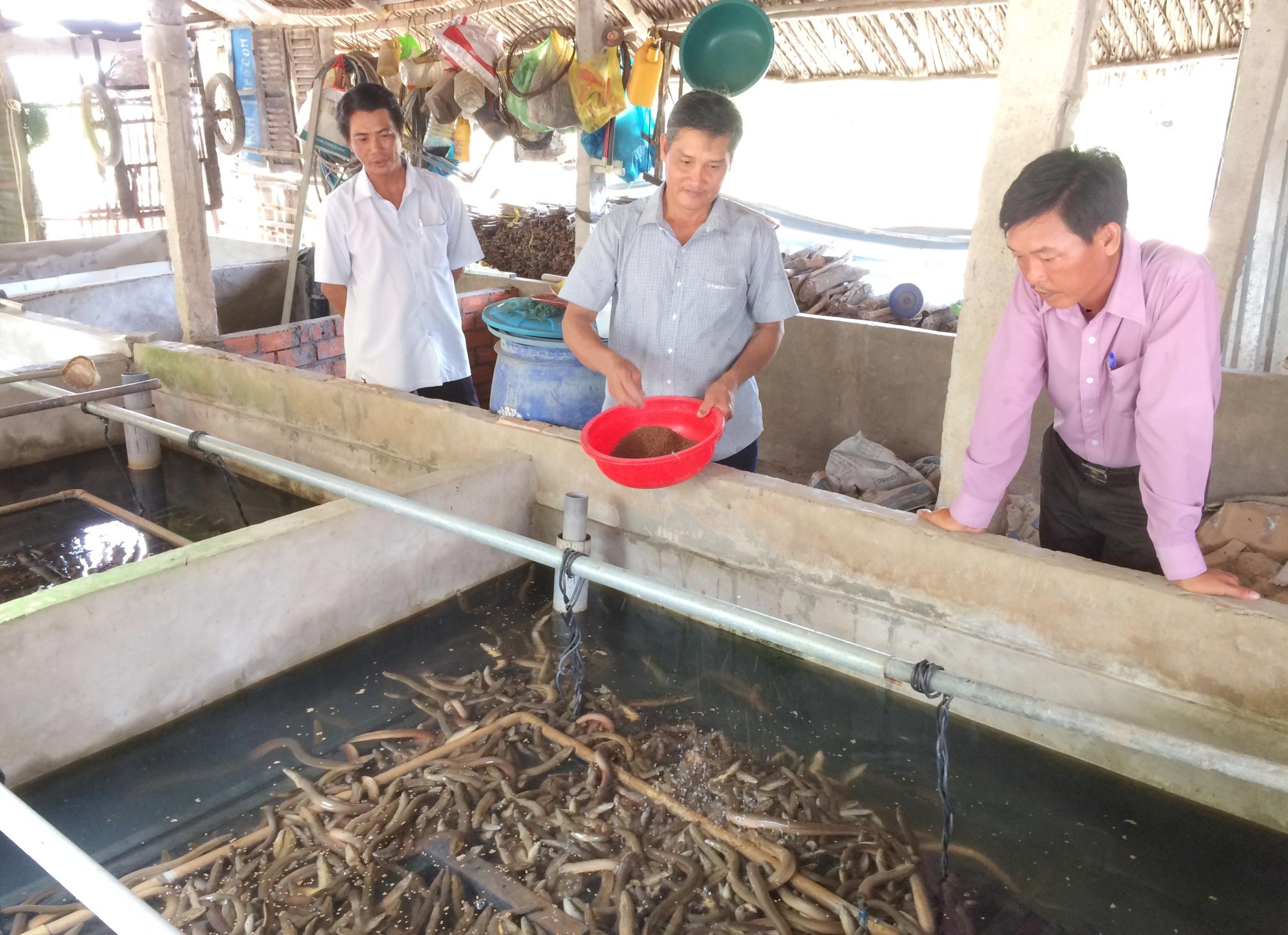 Từ nguồn quỹ hùn vốn của CCB và vốn vay ưu đãi Ngân hàng Chính sách xã hội, CCB Trần Văn Quang (đứng giữa) ở ấp 4 xã Xà Phiên (huyện Long Mỹ) thực hiện mô hình nuôi lươn không bùn cho thu nhập khá cao và ổn định, đang được Hội CCB huyện Long Mỹ nhân rộng