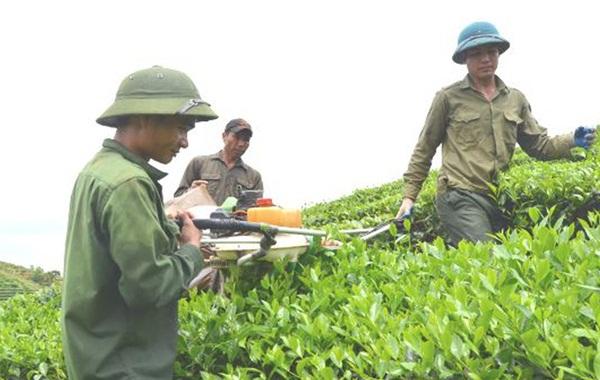 Người dân Hùng Sơn tham gia thu hoạch chè