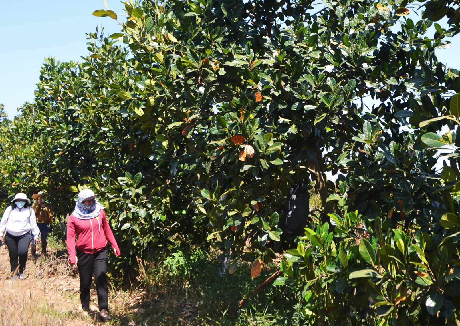 Du khách tham quan vườn mít của chị Trần Thị Mai
