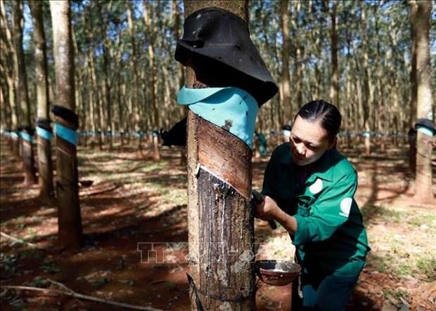 Khai thác mủ cao su tại nông trường của Công ty TNHH Một thành viên Cao su Chư Păh, Gia Lai. Ảnh: Vũ Sinh - TTXVN