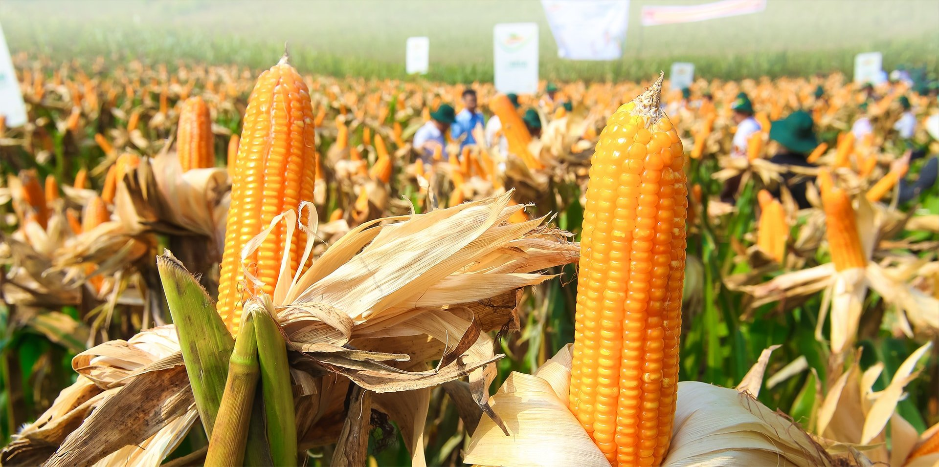 Năng suất thu hoạch được của các giống ngô CNSH với các tính trạng kháng sâu và chống chịu thuốc trừ cỏ cao hơn so với các giống ngô lai thường từ 15,2% tới 30% - Ảnh: VGP/Đỗ Hương