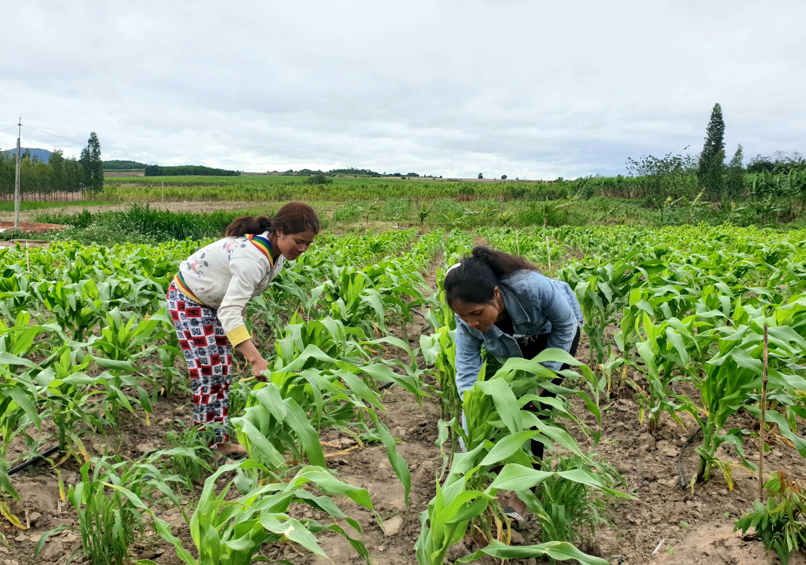 Chị Đinh Thị Em (bên phải) hướng dẫn hội viên Đinh Thị Choi cách chăm sóc cây trồng để cho năng suất cao.