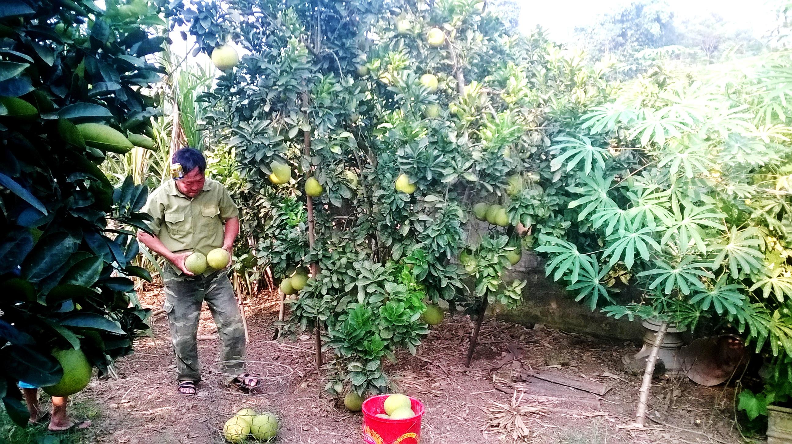 Bưởi Diễn đã mang lại thu nhập cao cho người nông dân Hạ Hòa.