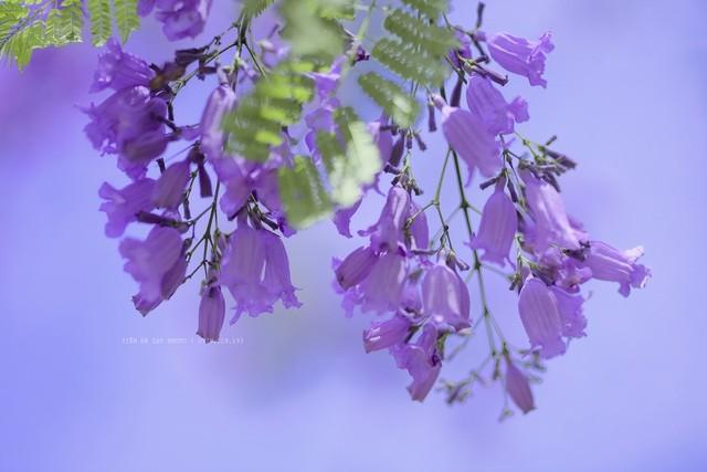 Đà Lạt mùa phượng tím, cảnh đẹp lãng mạn tựa cổ tích 7