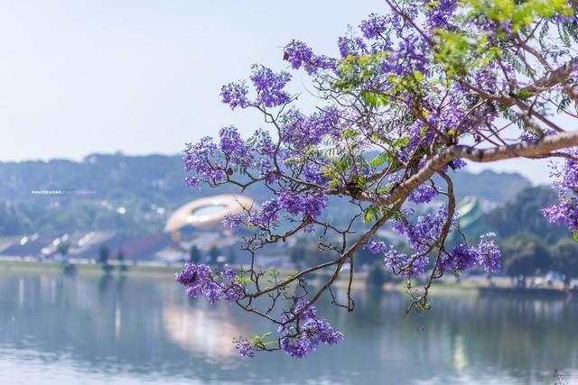 Đà Lạt mùa phượng tím, cảnh đẹp lãng mạn tựa cổ tích