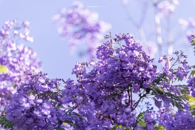 Đà Lạt mùa phượng tím, cảnh đẹp lãng mạn tựa cổ tích 4