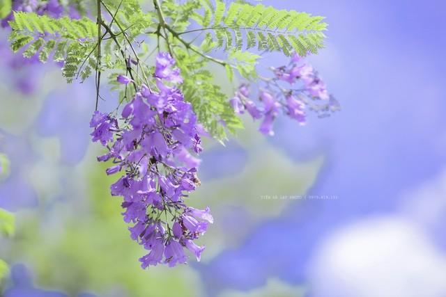 Đà Lạt mùa phượng tím, cảnh đẹp lãng mạn tựa cổ tích 1
