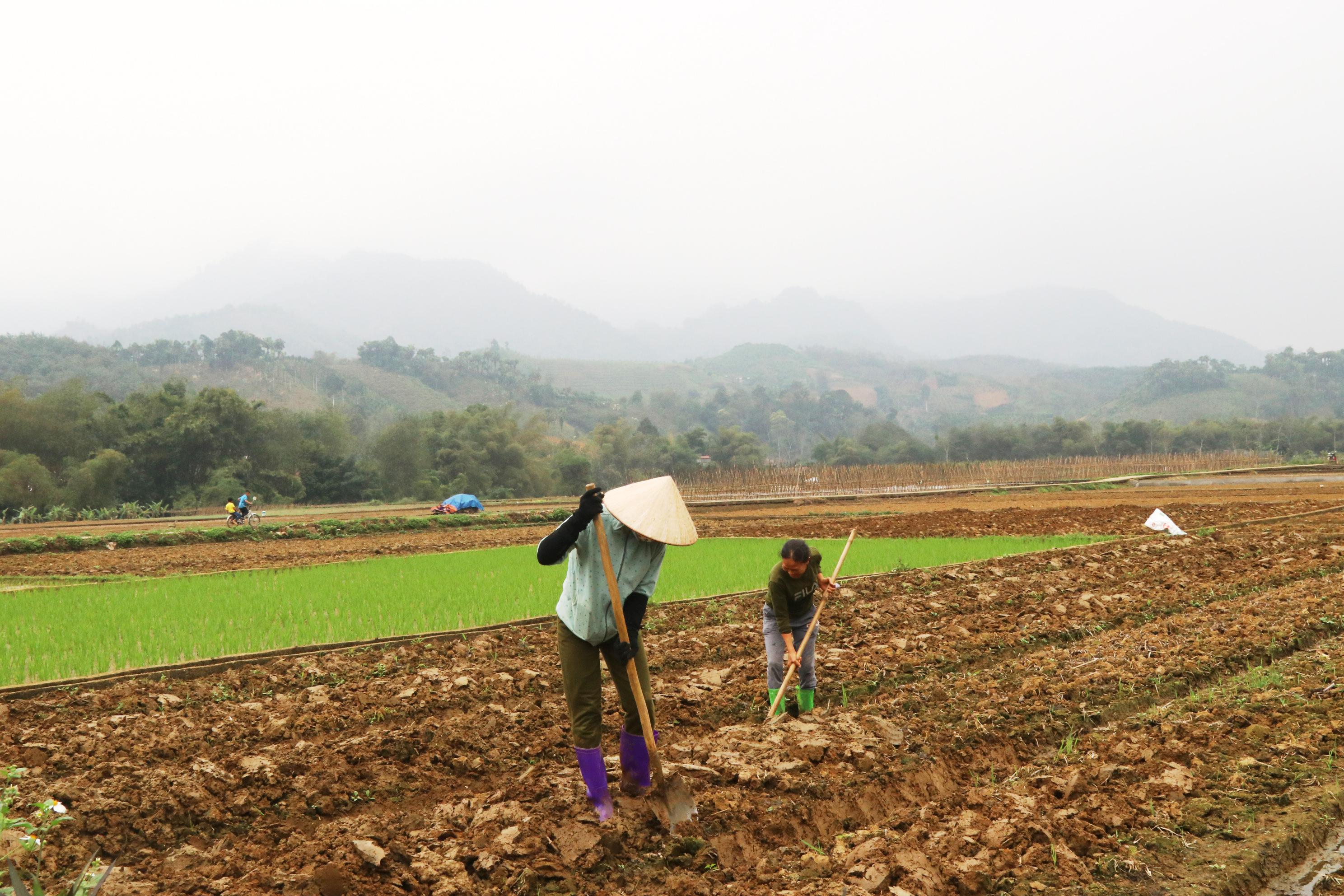 Tham gia vào HTX, người nông dân có điều kiện sản xuất lớn theo chuỗi giá trị