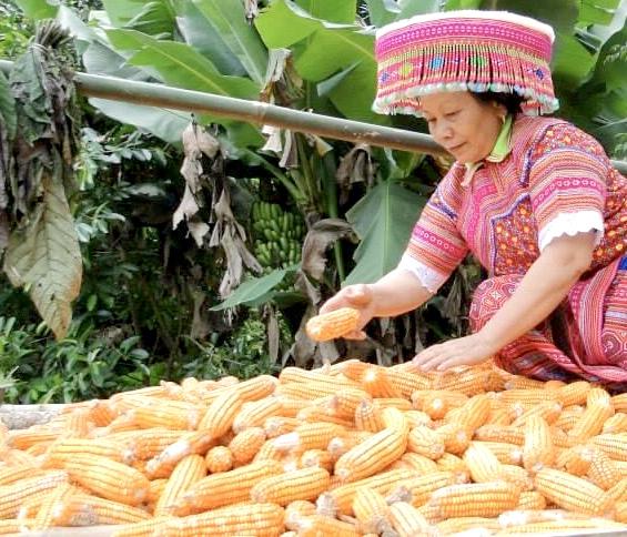 Ngô được chế biến thành nhiều món ăn độc đáo của người Mông.