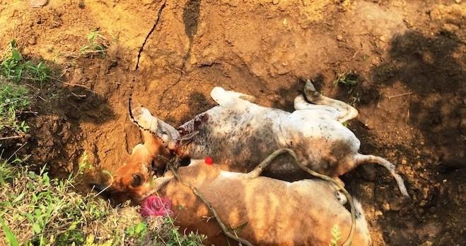 Tiêu hủy bò bị bệnh viêm da nổi cục ở xã Thanh Bình, thị xã Sa Pa (Lào Cai)