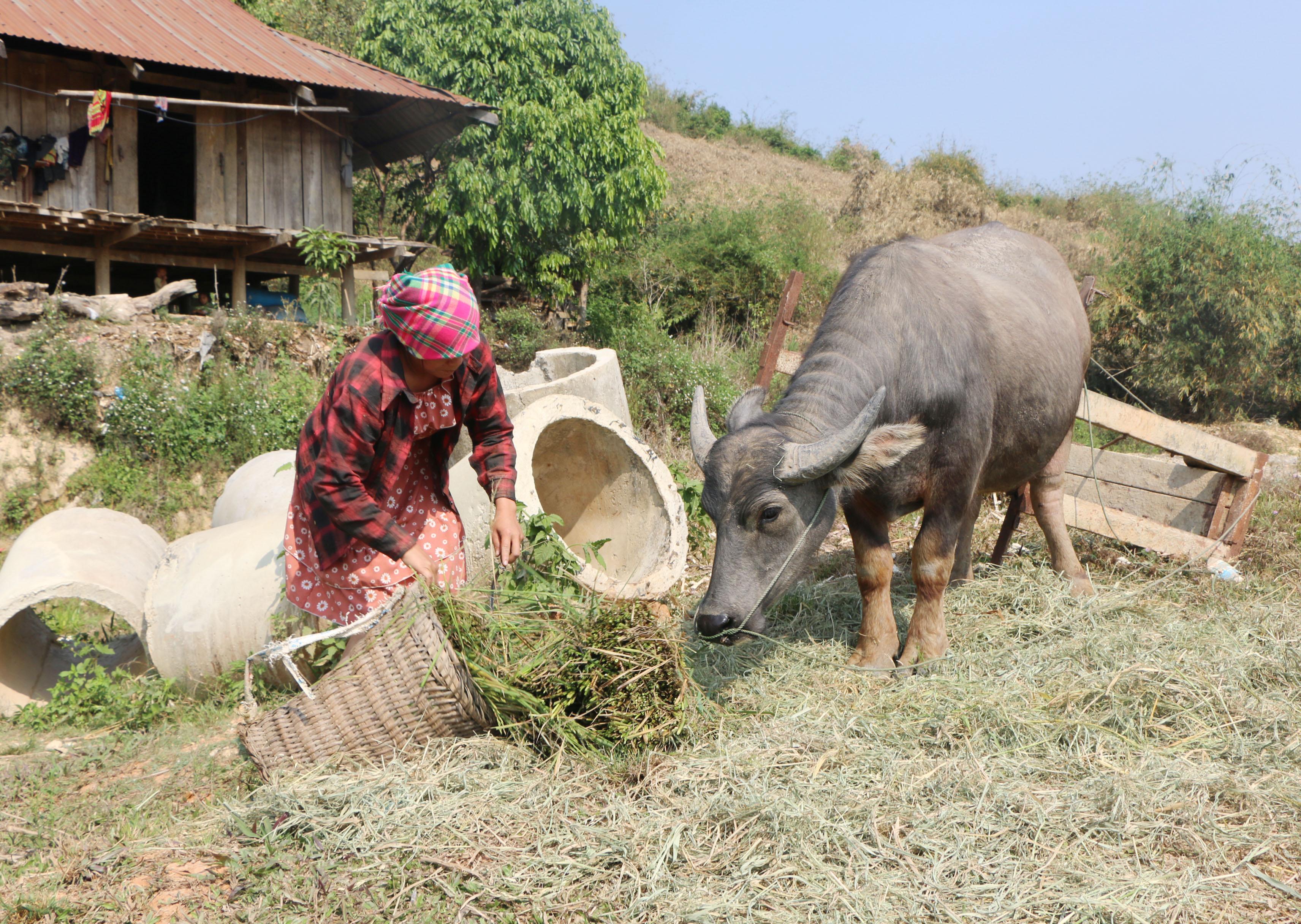 Người dân cắt lúa bị khô hạn cho trâu ăn