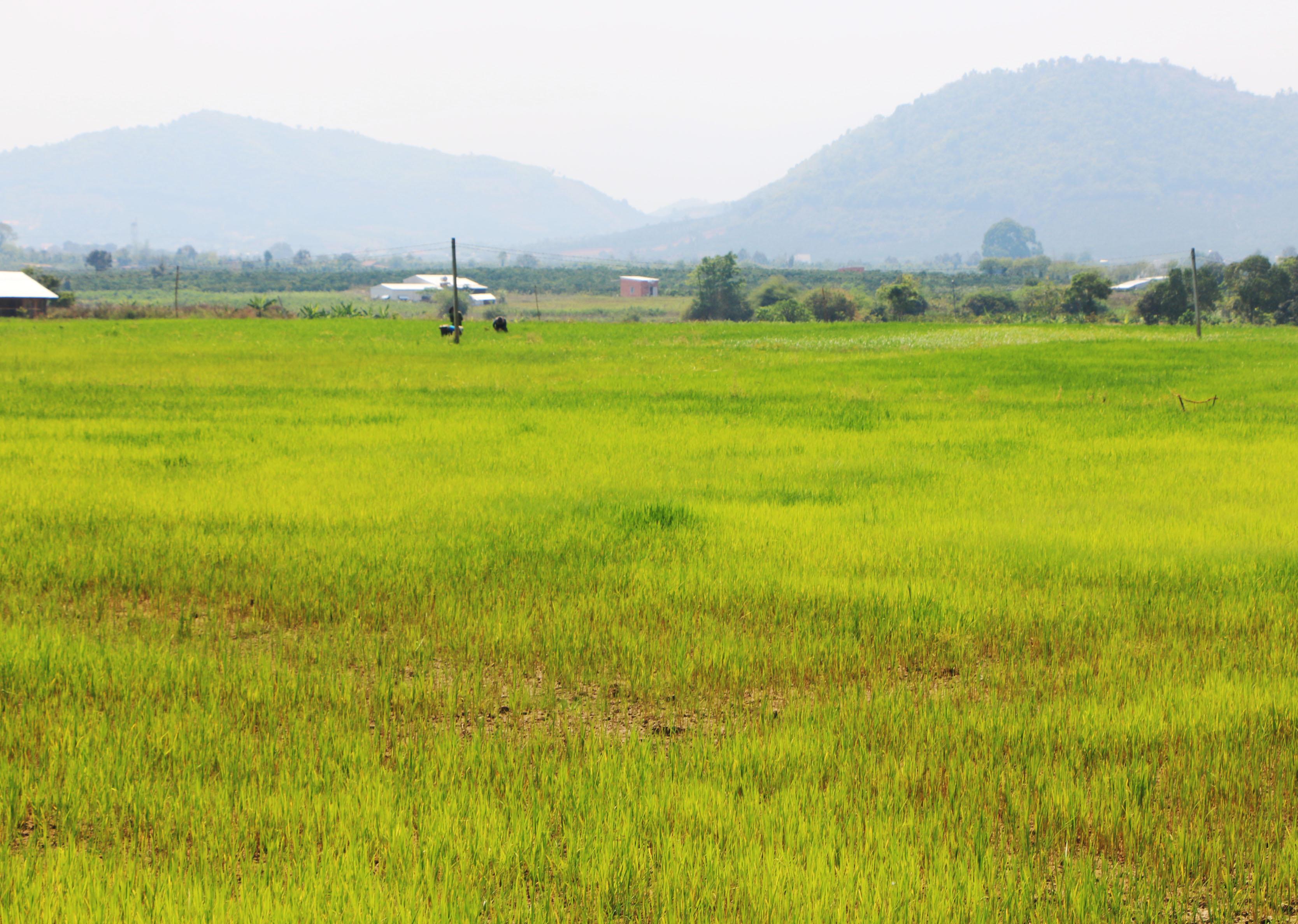 Cánh đồng lúa xã Quảng Hòa khô khốc, úa vàng