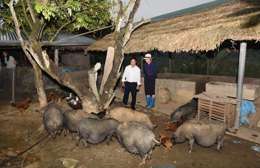 Mô hình nuôi lợn đen ở huyện Sơn Dương, Tuyên Quang