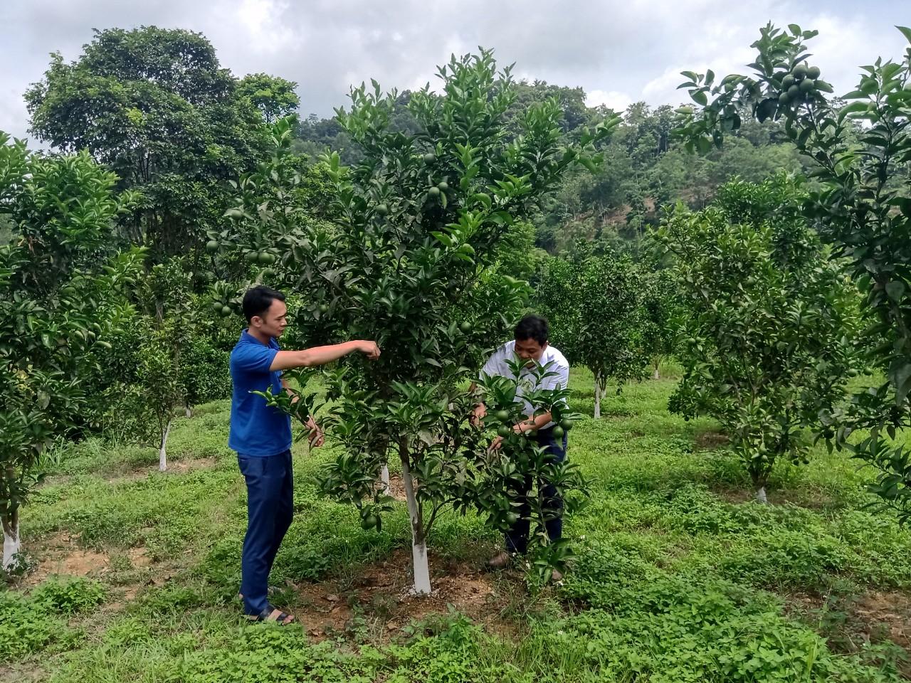 Mô hình trồng cam ở xã Đồng Giáp, huyện Văn Quan, Lạng Sơn