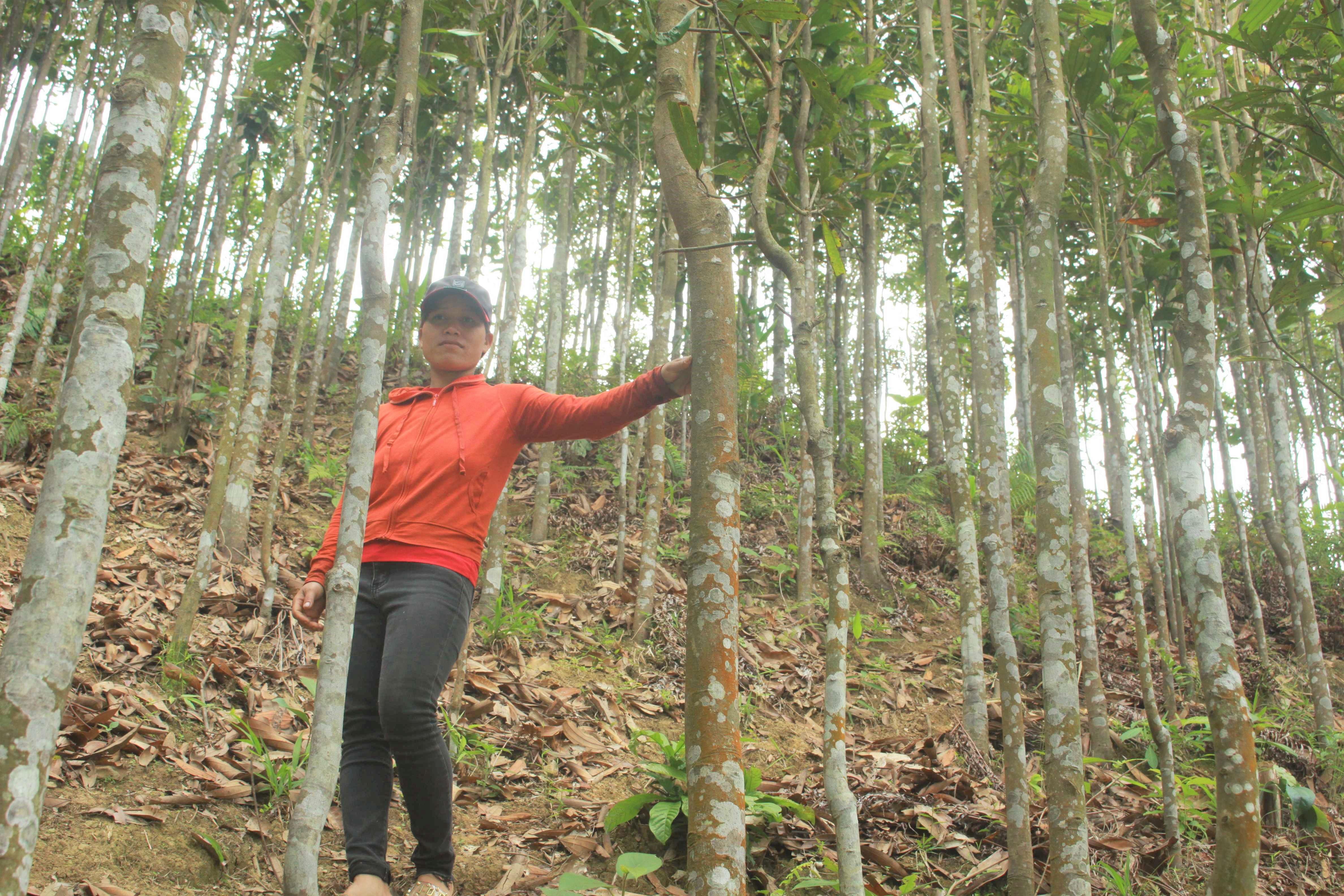 Vườn quế của chị Hồ Thị Thư, xã Trà Lãnh, huyện Trà Bồng, tỉnh Quảng Ngãi.
