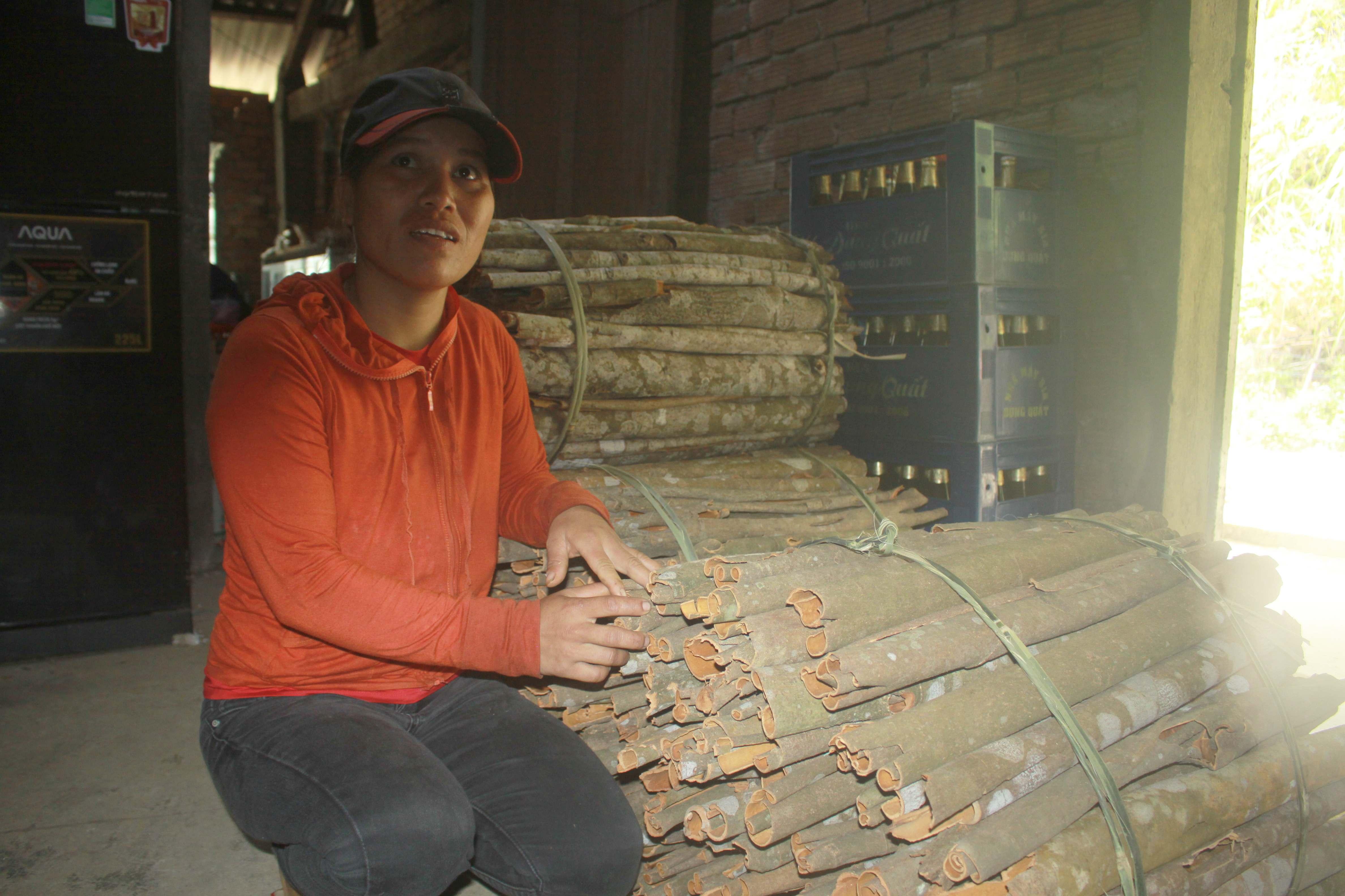 Từ khai thác, thu hoạch cây quế, mỗi năm chị Hồ Thị Thư (xã Trà Lãnh) thu về 40-50 triệu đồng