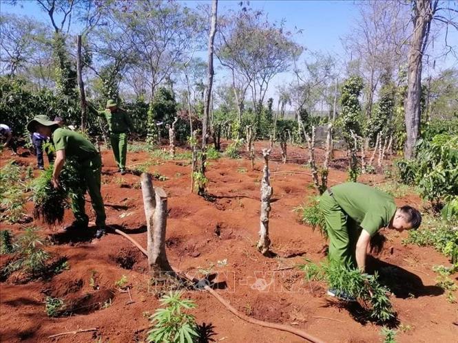 Lực lượng chức năng nhổ bỏ cây cần sa. Ảnh: TTXVN phát.