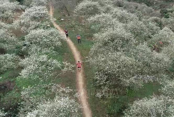 Các vận động viên chạy trên những triền đồi trải dài trắng tinh khôi hoa mận tại cao nguyên Mộc Châu, tỉnh Sơn La. Ảnh tư liệu: TTXVN phát
