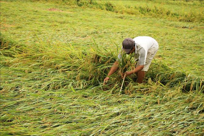Nông dân xã Hàm Ninh, huyện Quảng Ninh (Quảng Bình) khắc phục lúa rạp đổ do mưa lớn kèm gió giật gây ra. Ảnh: Nguyễn Văn Tý/TTXVN