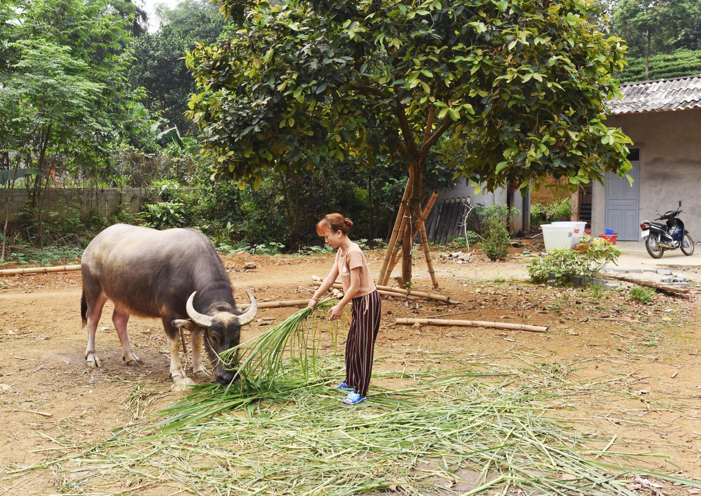 Đã cho đi lấy giống nhiều lần nhưng trâu của gia đình chị Đào Thị Thu vẫn không lấy được